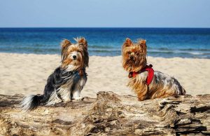 Are Yorkshire Terrier dogs hypoallergenic