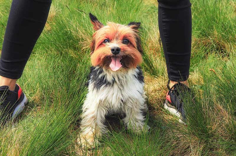 Biewer Terrier hypoallergenic