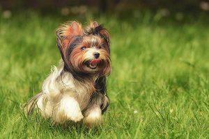 Are Biewer Terrier dogs hypoallergenic