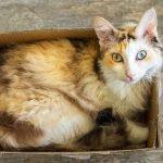 Hypoallergenic LaPerm cat