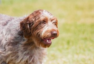 Wirehaired Pointing Griffons Hypoallergenic