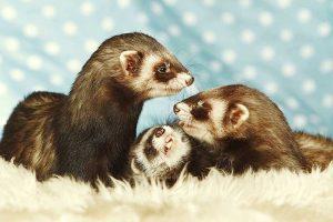 are ferrets hypoallergenic