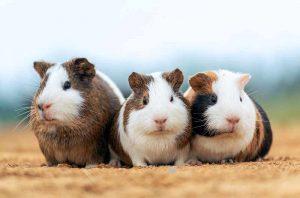 are guinea pigs hypoallergenic