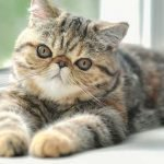 are exotic shorthair cats hypoallergenic