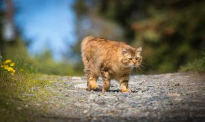 manx cats hypoallergenic