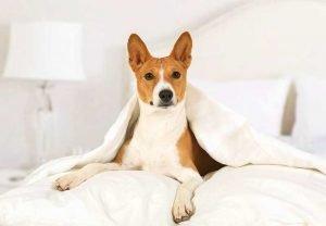 basenji hypoallergenic dogs