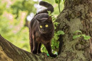 are bombay cats hypoallergenic