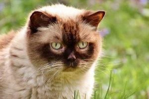 british shorthair cat hypoallergenic