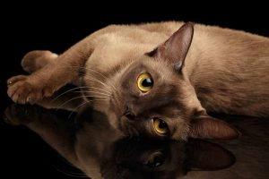burmese cats hypoallergenic