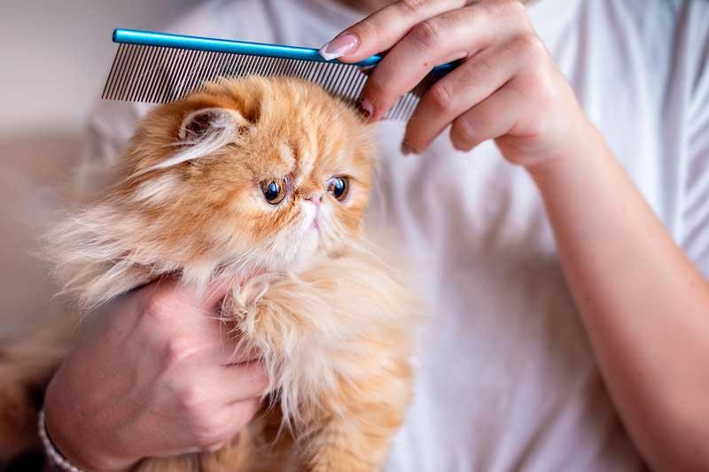 exotic shorthair cats hypoallergenic