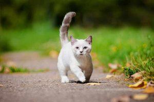 hypoallergenic munchkin cat