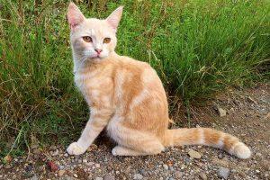 javanese cat hypoallergenic