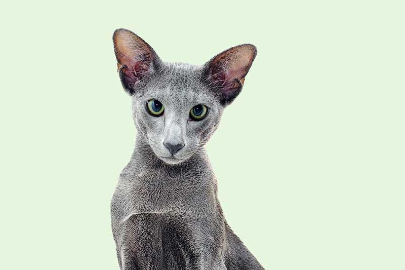 oriental shorthair cat hypoallergenic