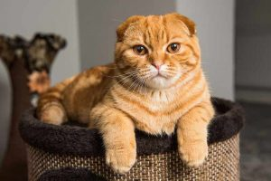scottish fold cat hypoallergenic