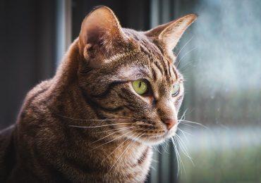 Are Ocicats Hypoallergenic Cats