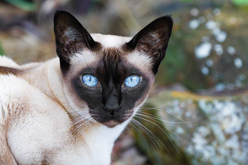 Tonkinese Cats Hypoallergenic