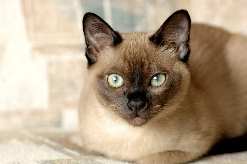 Tonkinese Grooming and Maintenance